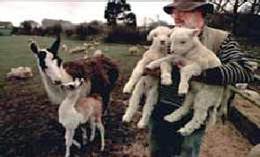 Farm  animals being held by farmer