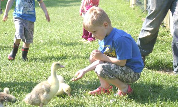 Child feeding ducklings